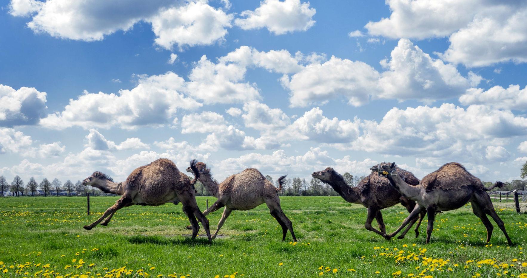 Bezoek een kamelenmelkerij!