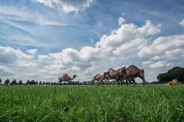 Kamelen in de mei