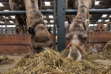 Kamelenboerderij stallen