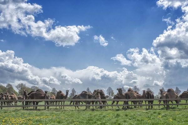 Kamelen in de wei