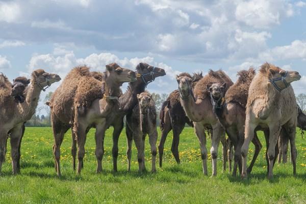 Kamelenboerderij in de wei