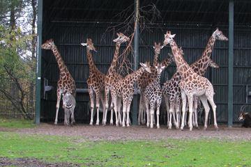 Safaripark Beekse Bergen Giraffe
