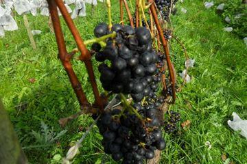 Druiven wijn maken