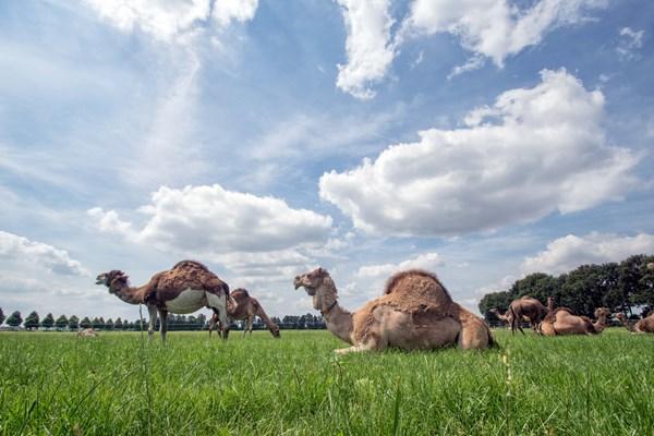 Kamelen in het weiland