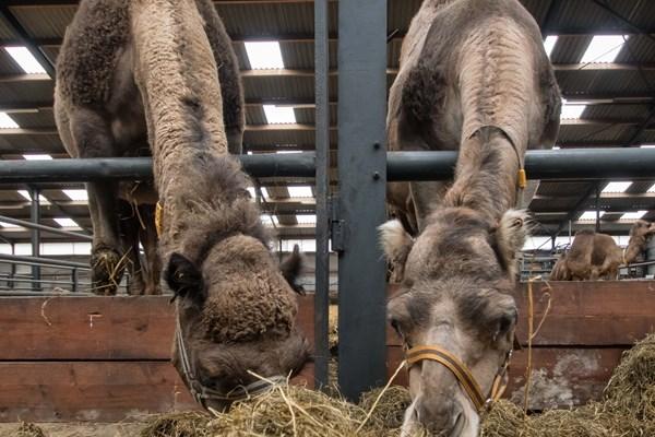 Kamelenmelkerij