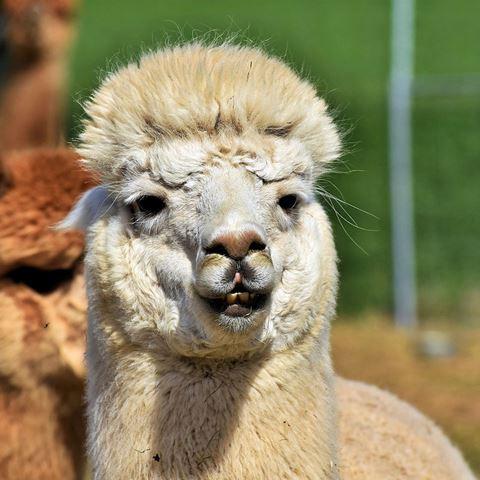 Alpaca Onderonsje