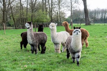 Groep alpaca's